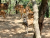 deer-in-the-pashupati-area
