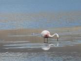 89. Flamingo