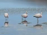 90. Flamingos