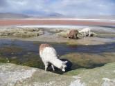 97. Domestic Lamas