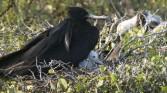 Frigit bird and chick