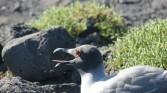 Galapagos gull panting