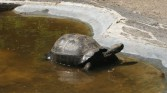 Giant tortoise cooling off