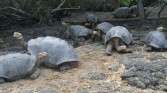 Giant tortoises hanging out