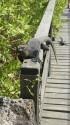 Marine iguana precariously balances