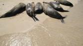 Sea lions beaching it up