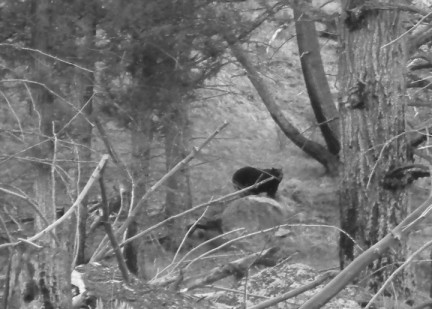 A black bear, around 3 years old, s early years without it mum.
