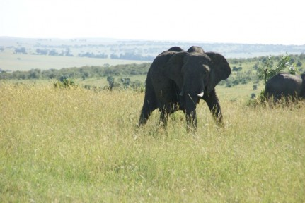 African Elephants are so impressive to see on the savannah...