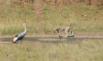 Cheetahs water hole looking at potential dinner, a southern crowned crane.