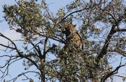 Leopard cub perched in a tree, it's preferred home