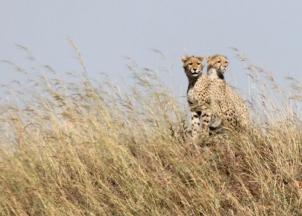 Cheetahs hard to see in the grasslands....