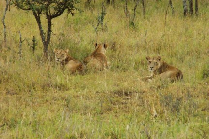 A Lions roar can be heard from several kilometers away and these were the guys that had kept us awake the night before....
