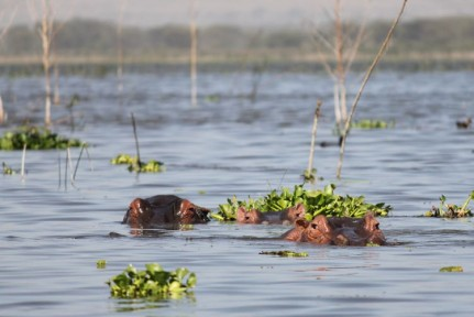 Hippos where the spend most of their days....