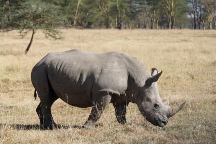 White Rhinos in Nakuru NP. We got so close to these amazing animals...