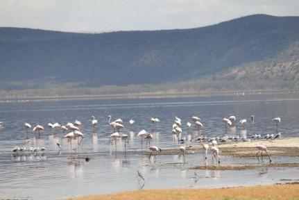 Flamingos at lake Nakuru.