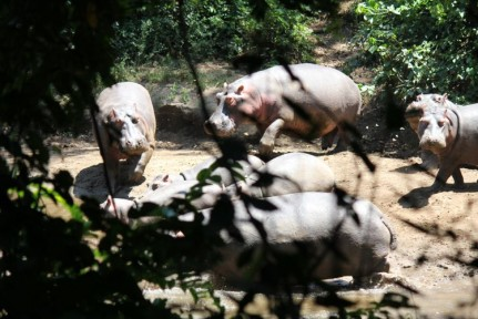 About an hour into our walk for Chimpanzees, we sight these Hippos