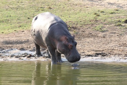 Hippos generally bathe all day long in the water, so we were quite lucky to see this one wandering on the bank as they usually move onto land at night time..