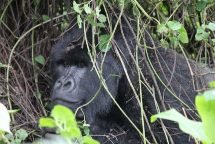 We meet our first Susa Member - a large Silverback!!!