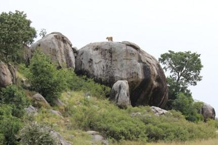 Lion on Pride Rock overlooking the numerous prey below....