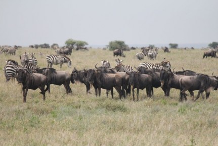 Blue Wildebeest also known as Gnu flood the plains of the Serenegeti. We were there for the entry into the Serengeti on their great Migration...