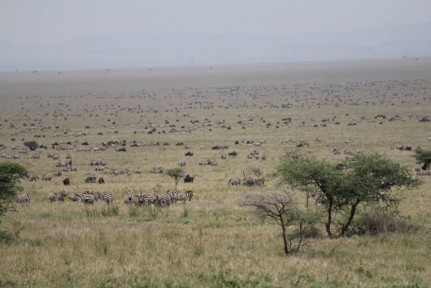 Thousands of Blue Wildebeest & Zebras on the plains of the Serengetti NP.