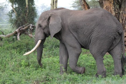 This Elephant walked across the road, right in front of our car... Ears flapping and all...