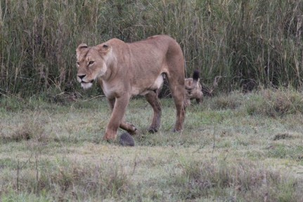 This Lioness and her cute cubs wandered at ease in between the cars...