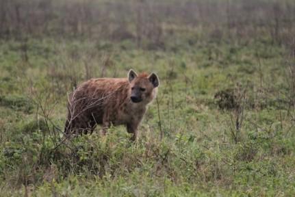 We got very close to this Hyena...
