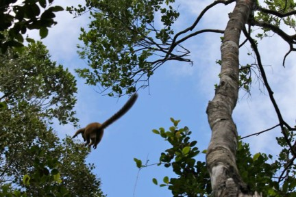 Brown Lemur leaping from the tree to tree. They can leap unbelievably well.