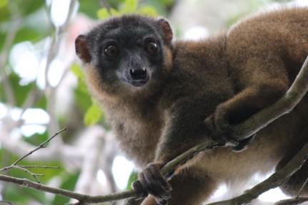 <p>Collared Brown Lemur...</p>