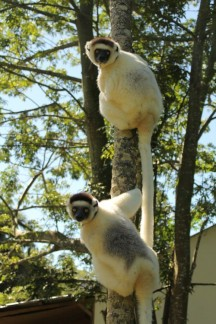 The Sifaka Lemurs are beautiful and have very funny personalities...