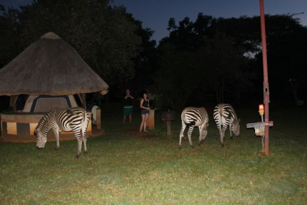 Zebras at the campsite