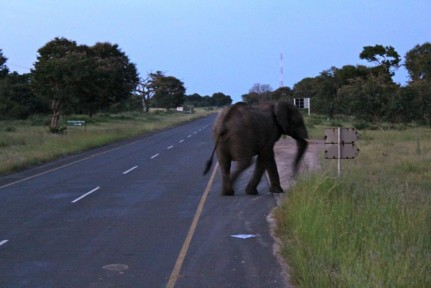 5.30am and this lovely creature crossed the road on our way to Chobe NP