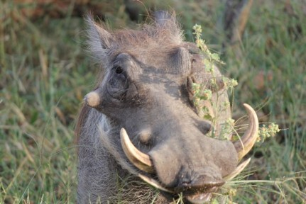 Pumba's are everywhere in Chobe...