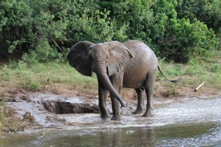 Young female mud wallowing on the banks of the mighty Chobe River