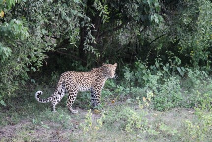 Leopard reveals itself from shrub cover.