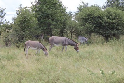 In Botswana each rural farmer is 7 cows and 7 donkeys to help them start their farming life... The donkeys are not always wanted the cows certainly are. We saw heaps of donkey roaming around rural Botswana.
