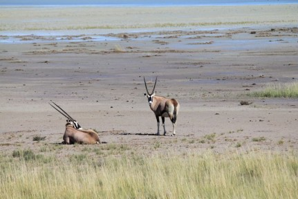 Oryx are beautiful antelope that thrive in a desert environment.