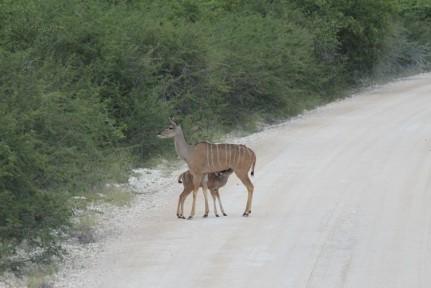 Kudu calf feeding from mum on the road out of Etosha.