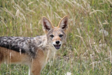 Black backed Jackal is more of a scavenger than a veracious killer...