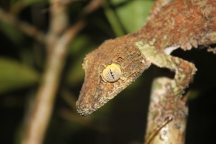 Leaf Tailed Gecko. The mosted wicked lizard ever... More photos in gallery.