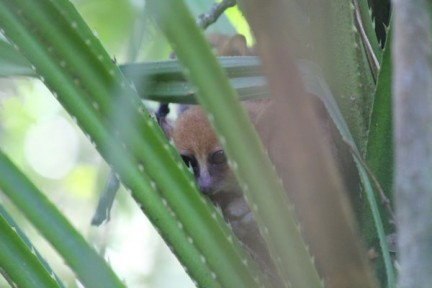 Mouse lemur hiding in a pandanas. It was great to see them and very lucky as they are nocturnal.