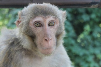 A monkey of the Monkey temple (Swayambhunath)