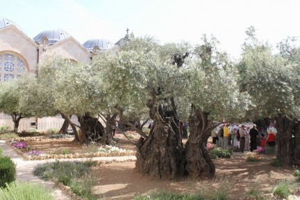 These olive trees are decendants of the ones that Jesus prayed to God infront of...