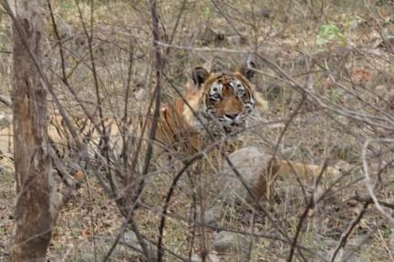 tiger g