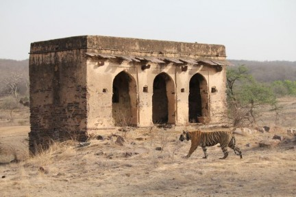 Tigress with Fort