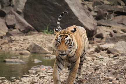 Tiger heading towards us....
