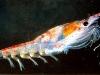 krill_wideweb__470x2980