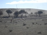 84. Lama in paddock
