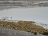 93. Wild Lamas at lake